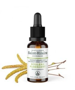 Bouleau pubescent (Betula pubescent) bourgeon