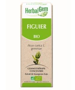 Figuier (Ficus carica) bourgeon