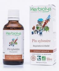 Pin sylvestre (pinus sylvestris) - bourgeons frais
