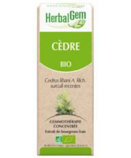 Cèdre (Cedrus libani) bourgeon