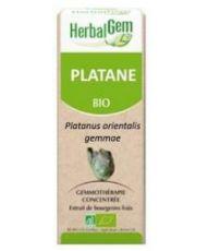 Platane (Platanus orientalis) bourgeon