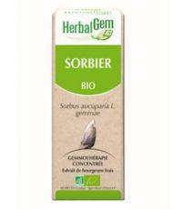 Sorbier (Sorbus aucuparia) bourgeon