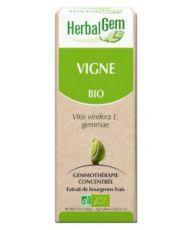 Vigne (Vitis vinifera) bourgeon