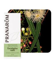 Eucalyptus radié (Eucalyptus radiata)