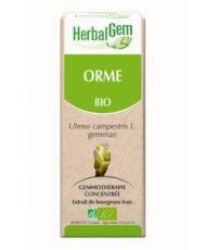Orme (Ulmus Campestris) bourgeon